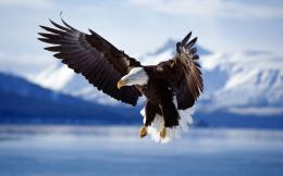 Bald Eagle in Flight Alaska 1576