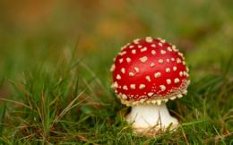 Red mushroom HD Wallpaper 1920x1080 Red mushroom HD Wallpaper 1734