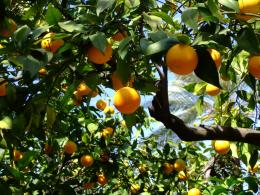 orange tree beautiful orange tree pic orange tree lovely orange trees 1649