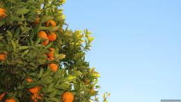 Tree Fruits Oranges Clementines HD WallpaperNew HD Wallpapers 453