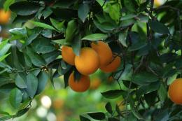 orange tree orange tree image orange fruit tree orange tree beautiful 722