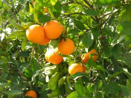Orange Tree Wallpaper Orange fruit tree wallpapers 1466