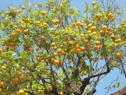 orange tree rutaceaeorange tree 1780