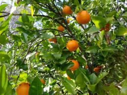 UsvatReforestation and Medicinal use of the Trees : Orange Tree 728