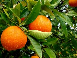 Download high quality 1152 x 864 Orange Tree Wallpaper 1006