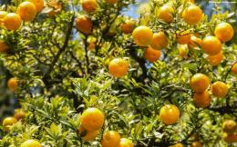 Orange Tree WallpaperWallpaper Series 1530