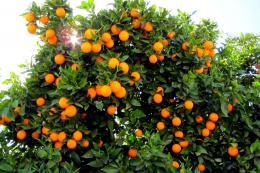 Orange Tree Wallpaper Hd wallpapersorange tree 1203