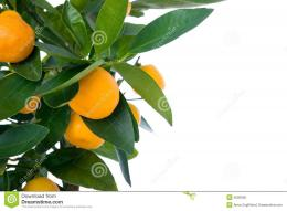 Orange Fruit Tree Background Citrus tree wi… 1677