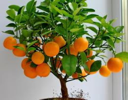 Orange Tree Wallpaper Fruits #10480 Wallpaper | wallpaperskyline com 545