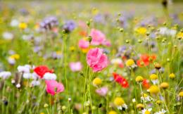 summer meadow colorful flowers Flowers Wallpapers| HD Wallpaper 734