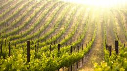 Vineyard wallpaper 1219