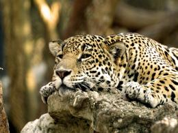 Leopard Africa Hd Desktop Wallpaper Wallpaper 762