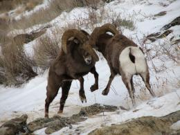 Bighorn Sheep The Free HD Wallpaper 1462