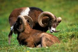 Bighorn Sheep, Mountain, Horns 1523