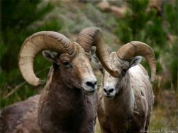 Free Download Rocky Mountain Big Horn Sheep HD Wallpaper 1692