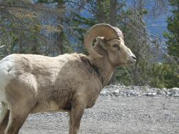 Bighorn Sheep HD Wallpapers 1778