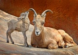Bighorn Sheep HD Wallpapers 1813