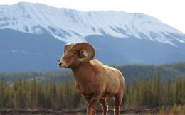 bighorn sheep desktop wallpaper download bighorn sheep wallpaper in hd 929
