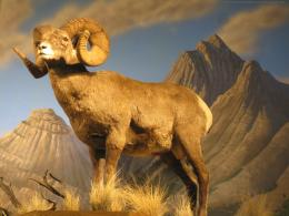bighorn sheep desktop background hd wallpaper download bighorn sheep 554