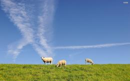 Sheep wallpaper 1535