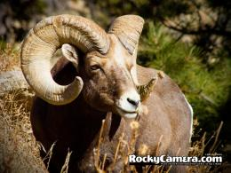 Free Download Rocky Mountain Big Horn Sheep Hd Wallpaper 970