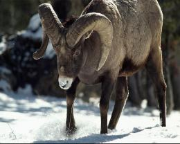 Download Free Wallpapers BackgroundsBighorn Sheep Pics Wallpapers 656