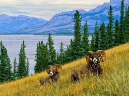 American bighorn sheep HD Wallpapers 1446