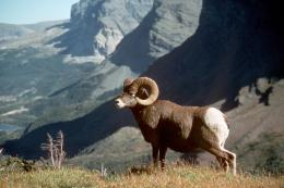 bighorn sheep high resolution hd new wallpaper bighorn sheep in 553