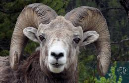 Free Download Rocky Mountain Big Horn Sheep HD Wallpaper 311