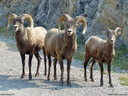 wallpaper big horn sheep 1024x768 jpg 172