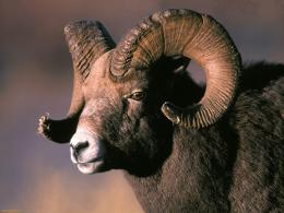 Bighorn Sheep HD Wallpapers 1509