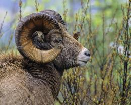 Horns Bighorn Sheep Canada Resolution HD Wallpaper 901