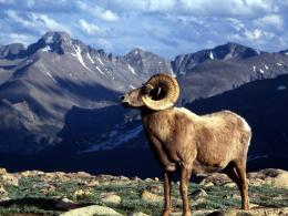 Bighorn Sheep HD Wallpapers 1688