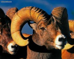 Bighorn Sheep Free HD Wallpaper 820