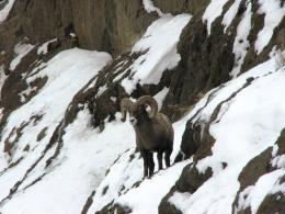 bighorn sheep wide high definition wallpaper download bighorn sheep 1147