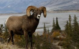 Bighorn Sheep Animal HD Wallpaper 1758
