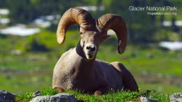 Bighorn Sheep Hd wallpaper 759