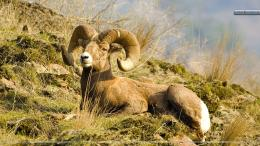 Rocky Mountain Bighorn Sheep HD Wallpaper 1656