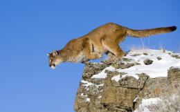 Cougar Desktop Wallpaper 1211