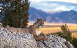 Cougar Desktop Wallpaper 1444