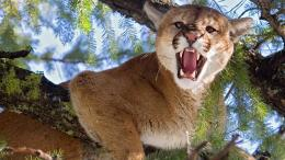 angery cougar desktop wallpaper animal cougar amazing cougar animal 1588