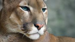 Cougar wallpaper 1456