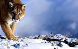 Cougar Desktop Wallpaper 1479