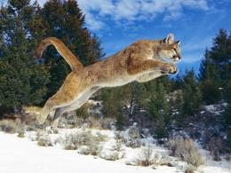 Cougar Desktop Wallpaper 1642