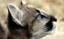 Desktop Wallpaper · Gallery · Animals · Young Cougar 1612