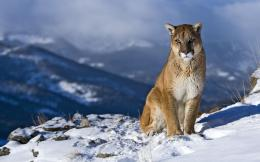 Animal Cougar Wallpaper 1920x1200 Animal, Cougar 407