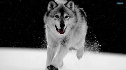 Gray Wolf HD wallpapers 372