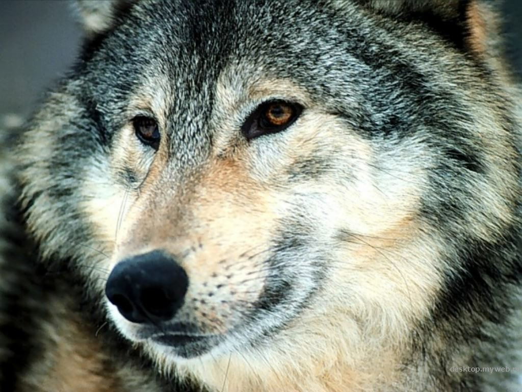 the gray wolf is also called the common wolf or canis lupus there used 1183