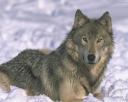 Grey wolf wallpaper download 1847