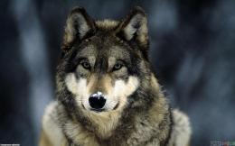 grey wolf uploader anonymous licence category creatures tags wolf 1694